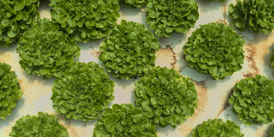Sustainable Harvesters Green Lettuce